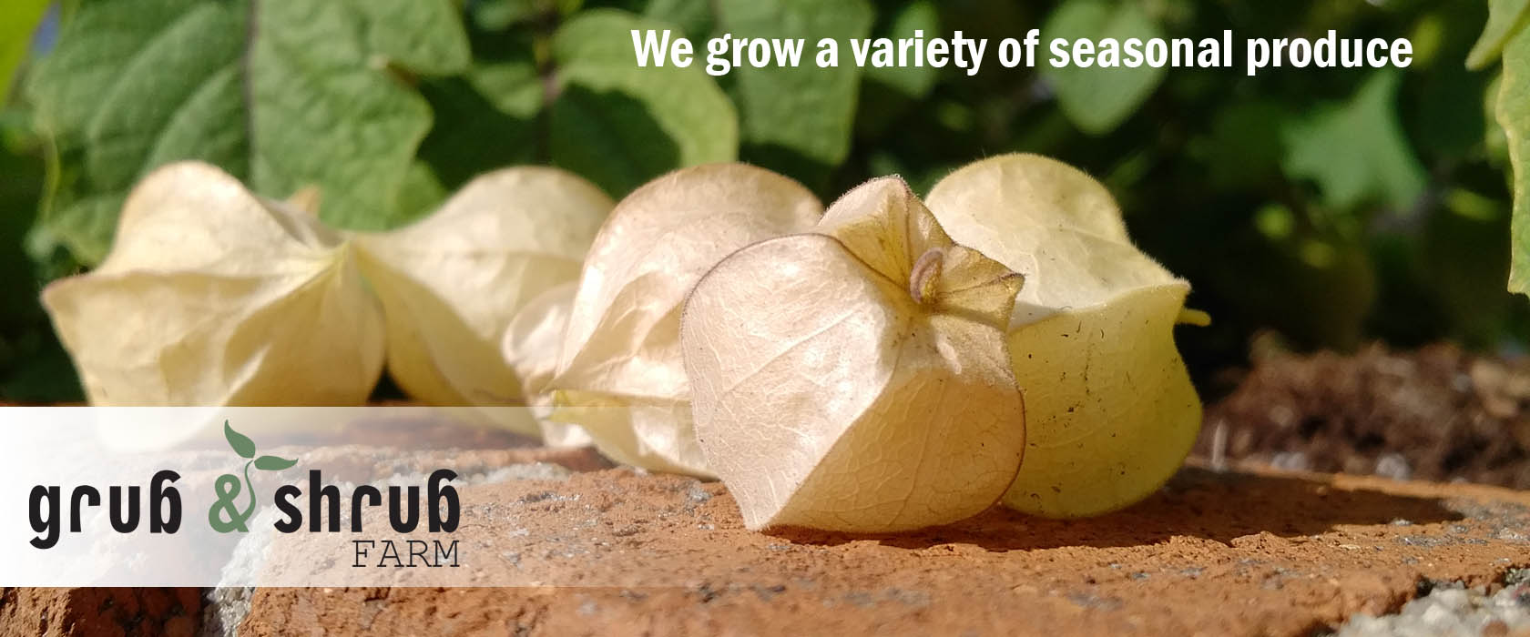 ground cherries are one of the seasonal produce of Grub & Shrub Farm